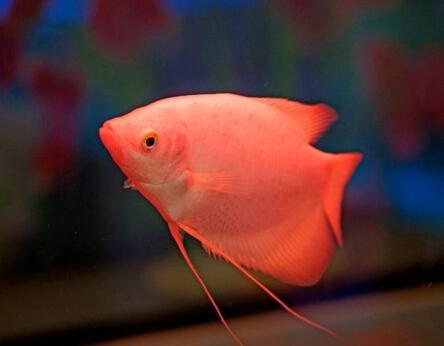 招财鱼是热带鱼类吗?招财鱼的风水要注意什么?